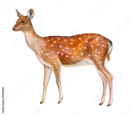 spotted deer female deer isolated on white background watercolor