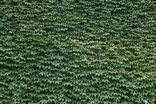 Wall Covered By Ivy