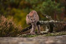 Cougar(Puma Concolor)