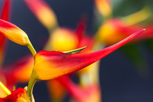 Heliconia With Vivid Colors