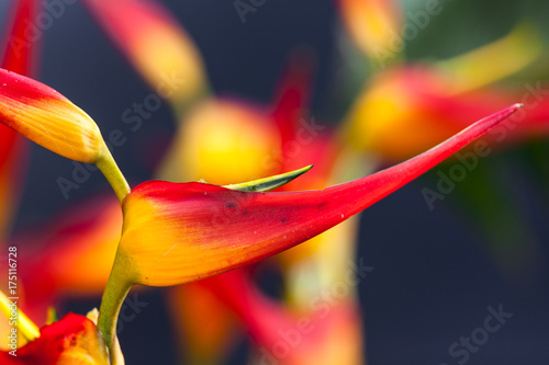 Fototapeta  Heliconia with vivid colors