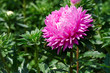 canvas print picture Bright pink aster flower on a flowerbed