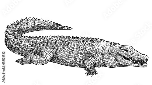 Fototapeta premium Saltwater crocodile illustration, drawing, engraving, ink, line art, vector