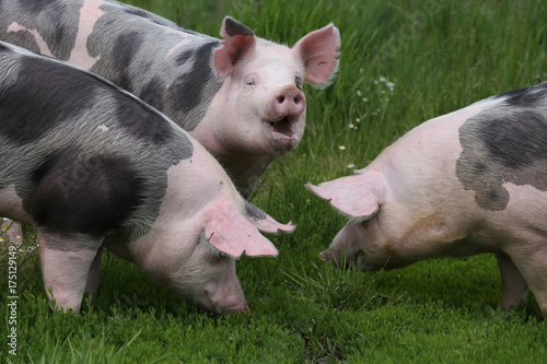 Foto  Closeup of domestic pigs when grazing on meadow
