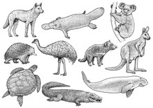 Australian Animal Collection Illustration, Drawing, Engraving, Ink, Line Art, Vector