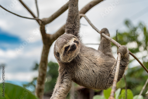 small brown baby sloth hanging with three limbs buy this stock