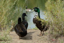 Mixed Breed Ducks With Traces Of Mallard,cayuga And Swedish Black Heritage Living In The Wild