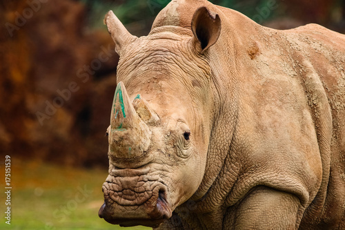 Fotografia, Obraz  White rhinoceros or White Rhino, Ceratotherium simum, with big horn in Cabarceno