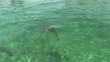 Caribbean reef shark swims just under water surface in shallow tropical water, bahamas