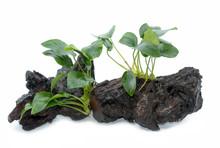 Aquarium Plants On Small Drift...