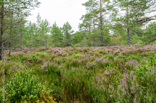 Photo Purple heather in Inverdruie Forest in Coylumbridge, Aviemore, Scotland in the C