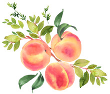 Branch With Peaches. Watercolo...