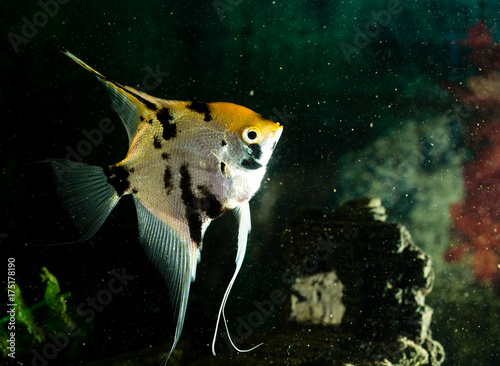 a fish floats in an aquarium at home