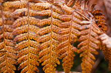 Closeup Of Brown Fern Leaf In ...