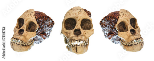 Set of Australopithecus africanus Skull Wallpaper Mural