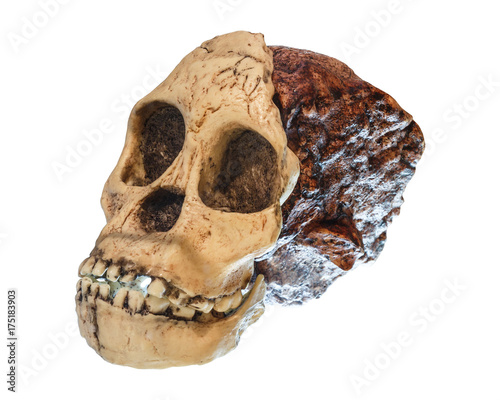 Australopithecus africanus Skull Wallpaper Mural