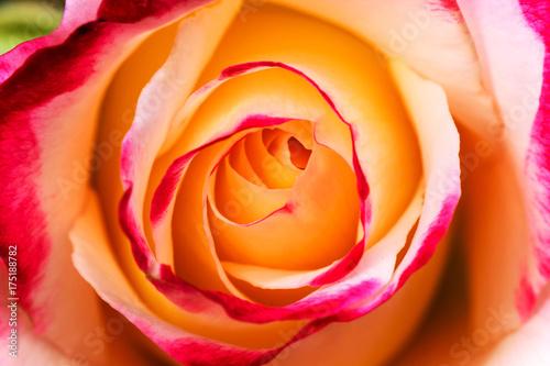 Fototapeta Two toned yellow and pink rose obraz na płótnie