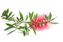 Bottlebrush Flower ( Callistem...