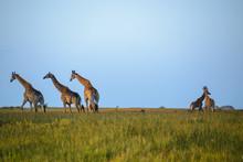 Giraffes At The Isimangaliso W...