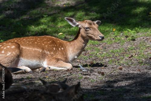 Fotobehang Ree Junges Reh im Wald