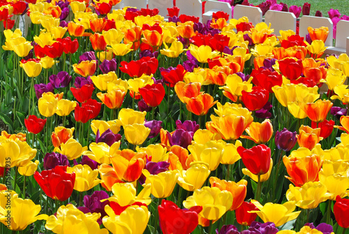 amsterdam-tulips-blooming-in-the