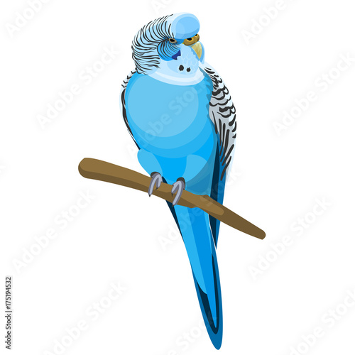 Budgerigar common or shell parakeet informally nicknamed budgie vector illustration Fotomurales
