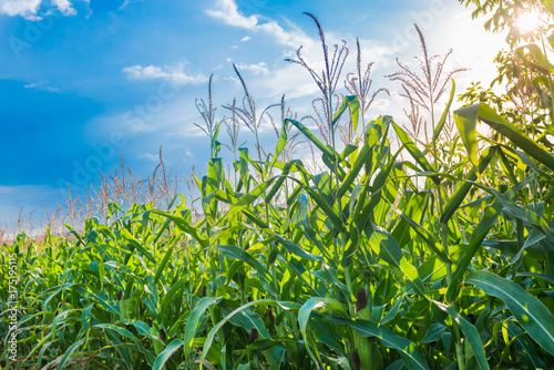Corn field with blue sky Fototapeta