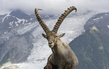 Alpine Ibex On A Background Of...