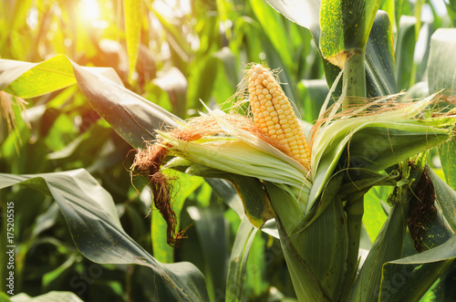 fresh corn on stalk in field with sunset background
