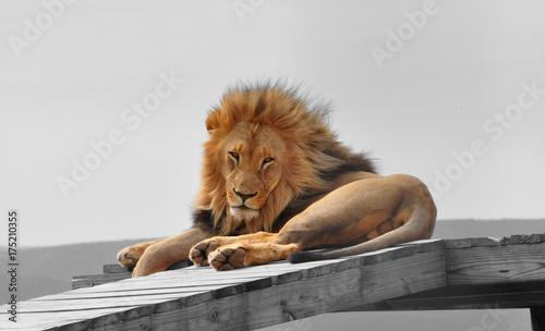 Zdjęcie XXL Izolacja kolorów: duży męski lew na platformie