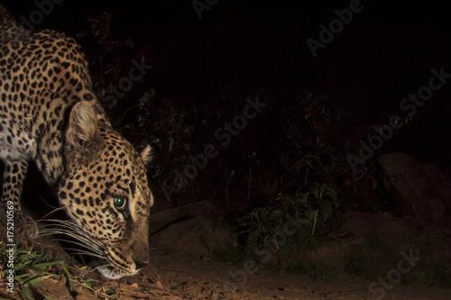 Plakat Lampart. Dziki afrykański lampart przy nocą