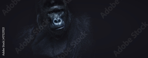 Photo Portrait of a male gorilla on a black background, severe silverback, Grave look of the great ape, the most dangerous and biggest monkey of the world