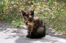 Kitten With Tortoiseshell Colo...