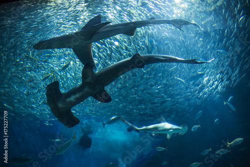 Obraz na dibondzie (fotoboard) Red Shark Shark