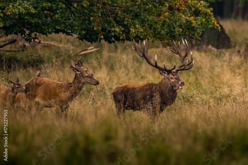 jelenie-na-lonie-natury