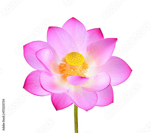 Foto op Canvas Lotusbloem pink lotus flower isolated on white background