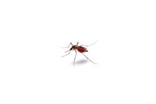 Macro Of Mosquito Sucking Bloo...