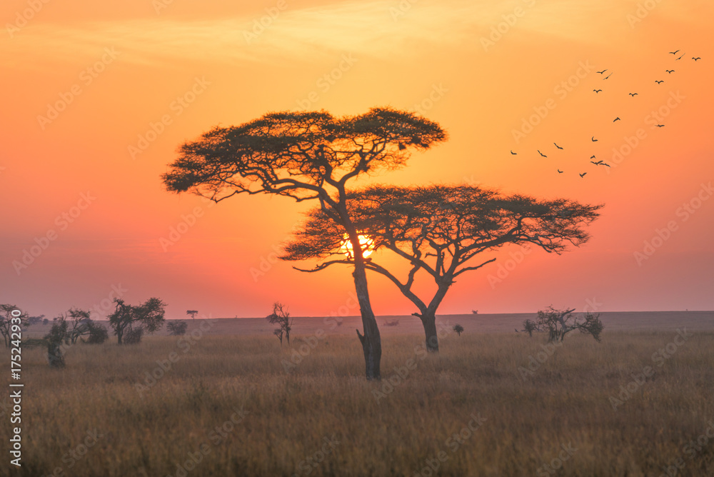 Fototapeta Sunrise in the Serengeti national park,Tanzania