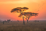 Fototapeta Sawanna - Sunrise in the Serengeti national park,Tanzania