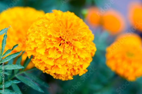 Plakat żółty kwiat nagietka w ogrodzie