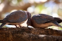 A Pair Of Laughing Doves