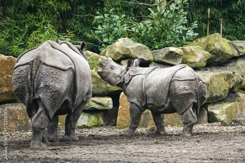 Acrylic Prints Rhino Baby neushoorn blert tegen moeder