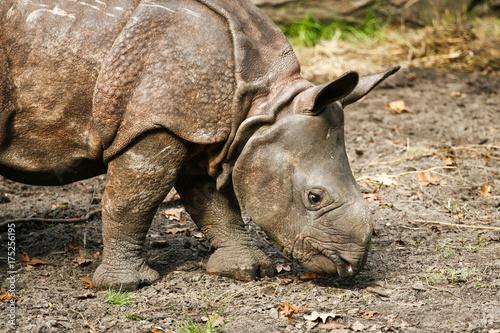 Acrylic Prints Rhino Baby Indische neushoorn snuffelt op de grond