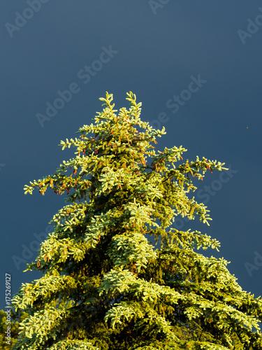 Fényképezés  Sunlit Evergreen with Dark, Stormy Sky