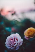 Close Up Beautiful Rose At Sun...