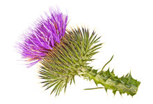 Thistle Flower Head Isolated Against White Background