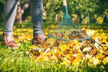 Gardener Woman Raking Up Autumn Leaves In Garden.