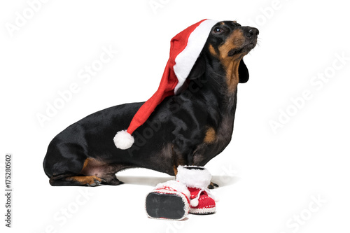 Adorable and Funny dog (puppy) dachshund, black and tan, wearing ...