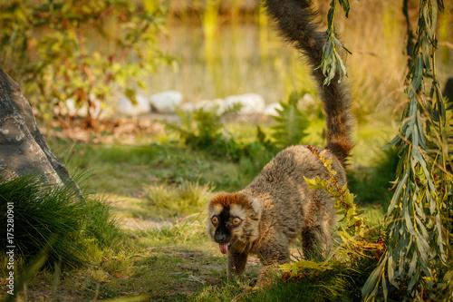 Foto op Plexiglas Aap Red lemur slowly walking in zoo