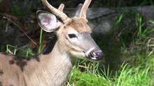 Close Up, Whitetail Deer On Ed...